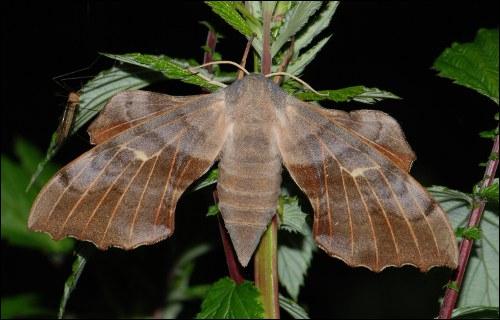 Quizz les papillons quiz papillons - Gros papillon de nuit dangereux ...