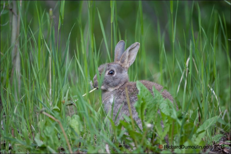 Le lapin commun ou lapin de garenne est la seule espèce du genre ... :