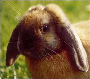 L'odorat du lapin est bien développé. Il dispose de ... :