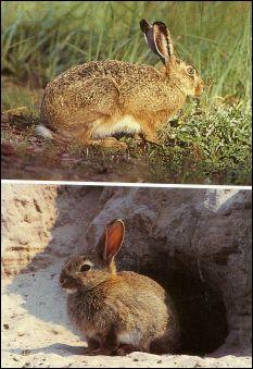 Le lapin commun présente une silhouette comparable à celle du lièvre mais s'en différencie par plusieurs caractéristiques visibles. Lesquelles ?