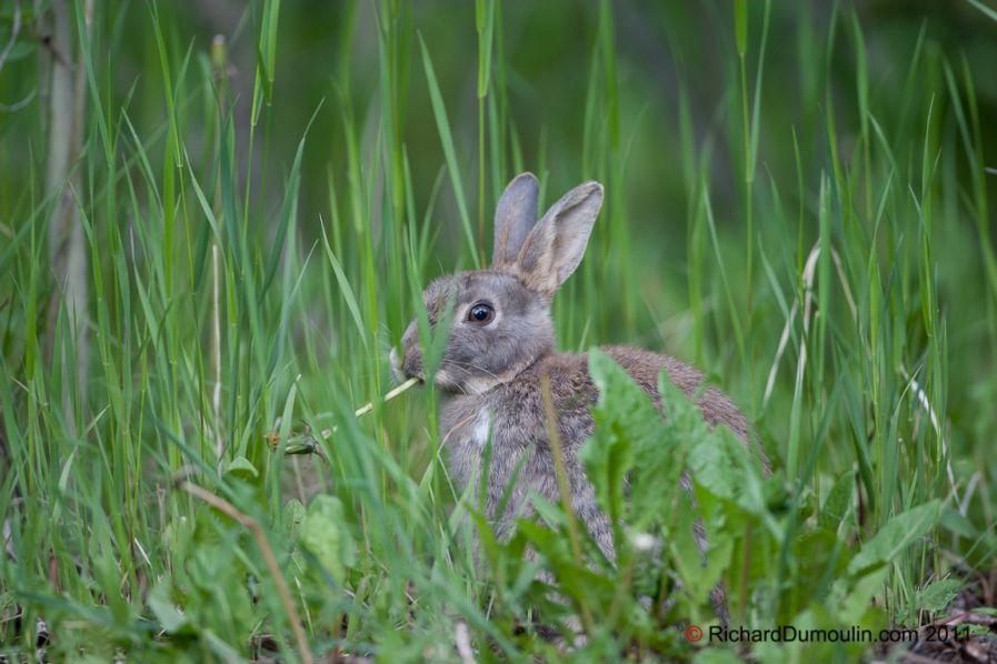 Le lapin commun