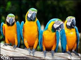 Quelle maladie provoquant des troubles broncho-pulmonaires est transmise par les perroquets ?