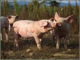 Le porc est physiquement incapable : (1)