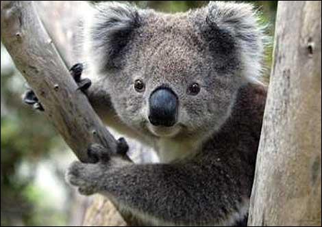 Le koala a un mode de vie très particulier : (4)