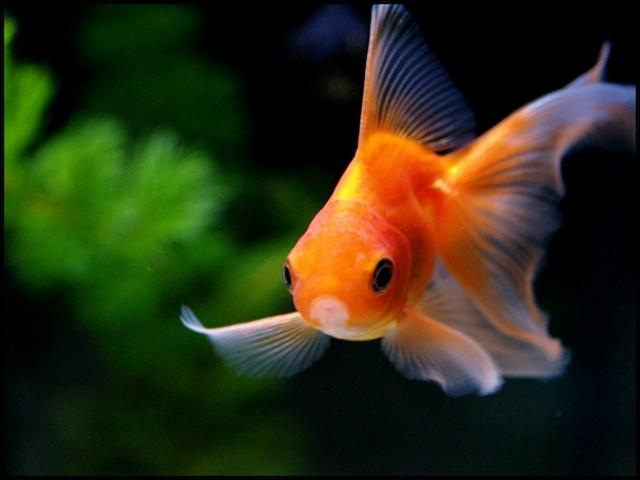 Combien les poissons rouges auraient-ils de mémoire ? (1)