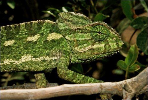 Parmi ces reptiles, lequel change de couleur en fonction de son environnement ? (1)