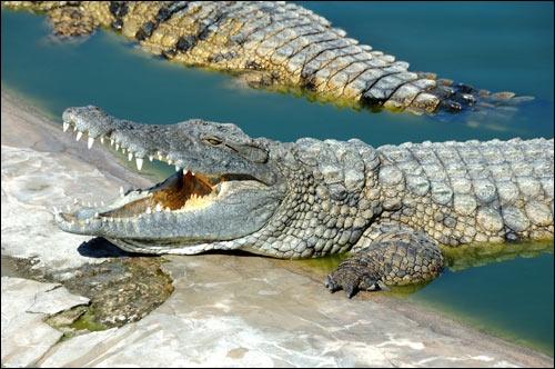 Les muscles qui permettent l'ouverture de la mâchoire d'un crocodile sont tellement puissants qu'il pourrait soulever un gnou. (1)