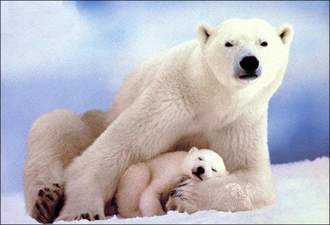 De quelle couleur est la peau de l'ours polaire ? (1)