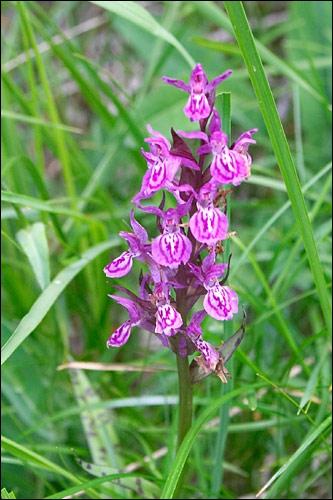 Bonjour tout le monde, je suis un genre de plantes de la famille des orchidaceae. Je suis une orchidée terrestre des régions tempérées à tubercules digités. Quel est mon petit nom ?