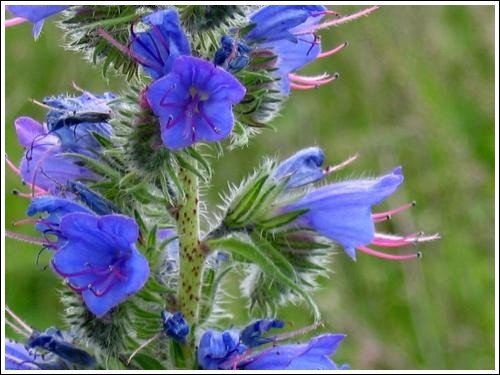 Je suis de la famille des boraginacées. Je suis une plante bisannuelle, érigée et poilue. Mes fleurs sont petites et bleues. Qui suis-je ?