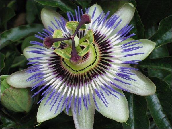 Bonjour, je suis une plante grimpante avec fleurs magnifiques. Avec plus de 530 espèces, je fais partie de la petite famille des passifloraceae. Presque tous les sols me conviennent. Qui suis-je ?