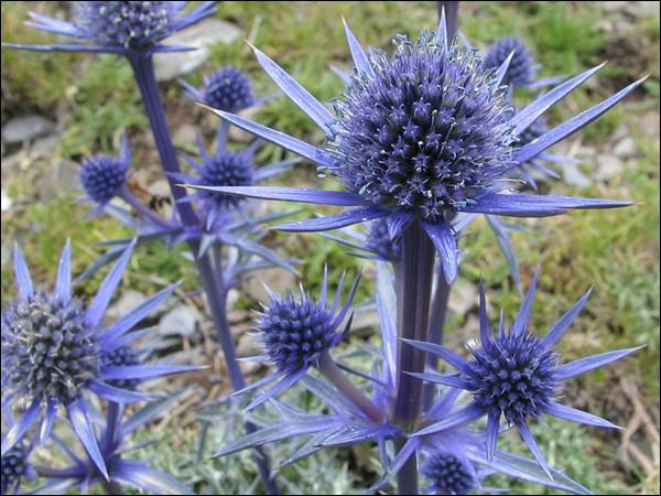 Salut, je suis un chardon d'une cinquantaine de centimètres aux petites fleurs bleues . Je suis une vivace de la famille des apiacées. On peut aussi m'appelée 'panicaut de bourgat'. Je suis ...