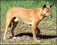 Le chien sauvage d'Australie s'appelle :