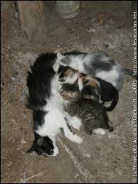 Il vaut mieux que la chatte ait eu une ou deux portées avant de la faire stériliser.