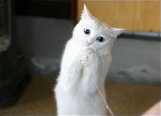 Le chat peut obéir aux ordres. Il est capable d'apprendre et de comprendre de 25 à 50 mots.