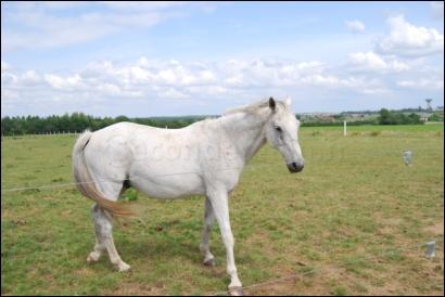 Combien de genoux ont les chevaux ?