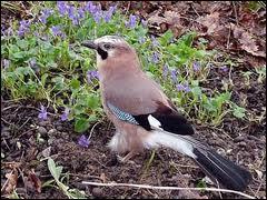Emettant des cris rauques et perçants, on dit que cet oiseau cajole ... .