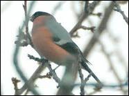 Calme et timide, il se nourrit de bourgeons au printemps... .
