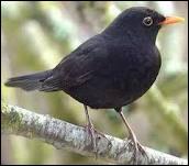 Il sert de vigile en alertant les autres oiseaux de son cri strident ... .