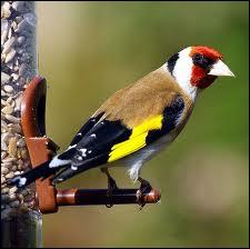 Cet oiseau est essentiellement granivore et affectionne particulièrement les graines du chardon ... .