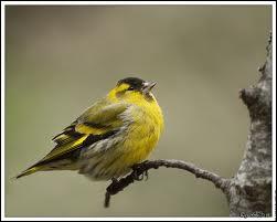 Cet oiseau très discret , fréquente l'hiver l'abord des habitations ... .