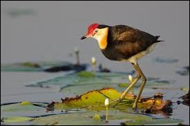 Cette sorte de poule d'eau des marais tropicaux est munie de doigts et de griffes démesurés qui lui permettent de se déplacer sur les plantes aquatiques.