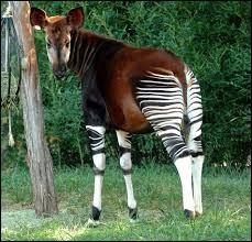 Espèce de grand ongulé des forêts denses du Congo. Il ressemble un peu à une girafe et fut découvert en 1901.