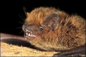 C'est la plus petite des chauves-souris.