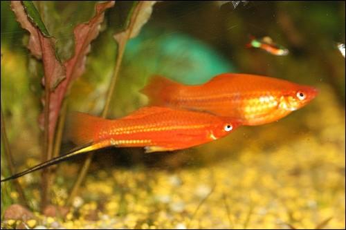 Le xipho est un petit poisson du Mexique qui doit son nom à...