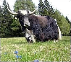 Où risque-t-on de trouver un yack ?