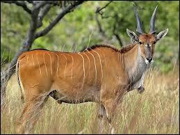 Grand bovidé ruminant africain pouvant atteindre 3 mètres et peser une tonne.