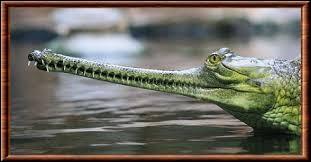 Crocodile d'Inde, il mesure 7 mètres et porte un drôle de museau allongé et très fin.