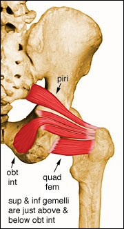 Les adjectifs 'glutéal inférieur' (ex-fessiers) et 'glutéal supérieur' proviennent de leurs rapports anatomiques avec :