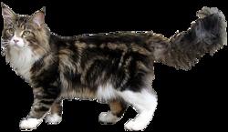 Quelle est cette race de chats caractérisée par un physique rustique et une grande taille ?