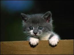 Quelle capacité innée des chats apparait chez les châtons vers l'âge de 4 semaines et est parfaitement maitrisée à 7 semaines ?