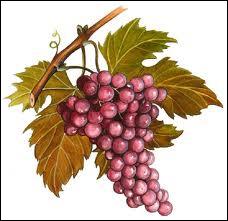Quel dieu ( ou déesse ) est représenté(e) par la vigne ?