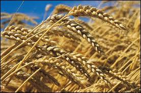 Quel dieu ( ou déesse ) est représenté(e) par le blé ?