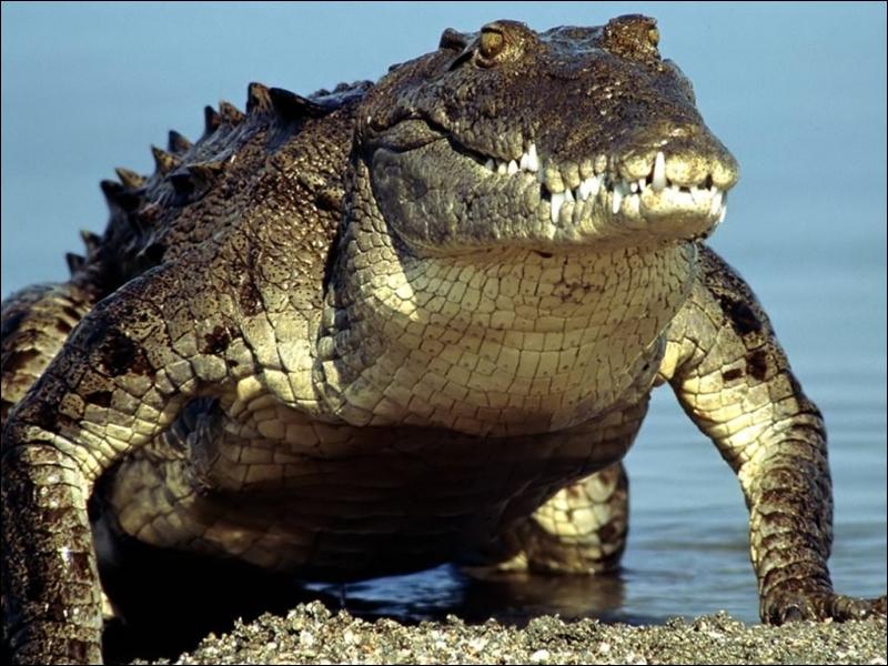 On ne dit pas : ''C'est l'alligator'' mais...