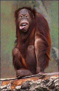 Cette race de singe s'appelle :
