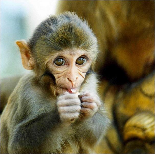 Comment s'appelle cette race de singe ?