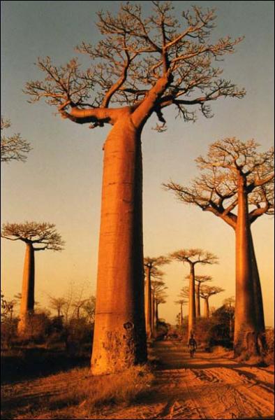 Quizz reconna trez vous ces arbres quiz arbres - Arbre africain en 7 lettres ...
