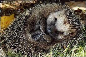 Le hérisson est-il un hibernant ?