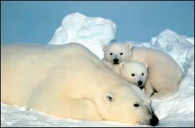 L'ours est-il un hibernant ?