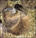La marmotte est-elle un hibernant ?