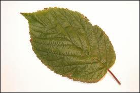 Biologie : comment appelle-t-on la partie végétale qui relie le limbe de la feuille à la tige ?