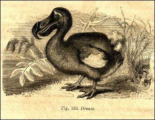 Ce petit oiseau, incapable de voler, a été exterminé par la chasse lorsque les hommes ont fait escale sur l'île Maurice. On sait qu'il ne fuyait pas l'homme et qu'il était gros. C'est donc...