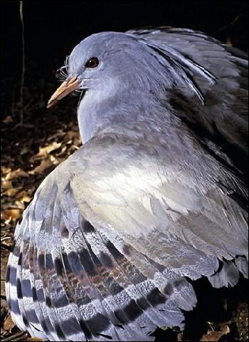 Cet oiseau vit entièrement au sol : en l'absence de prédateurs, il a perdu l'utilité de ses ailes. Quelle espèce est menacée depuis l'arrivée de l'homme en Nouvelle-Calédonie ?