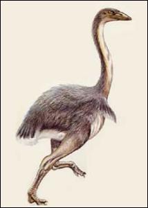 Cet oiseau de Nouvelle-Zélande n'a jamais volé. Il a été chassé sans répit par les Maoris (et par l'aigle géant de Haast). Quel grand oiseau mesurait 3 mètres de haut ?