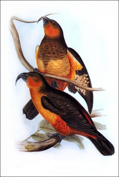 Ce perroquet vivait sur l'île de Norfolk. Il a été chassé par les premiers colons. Il a disparu à l'état naturel au début du XIXè siècle. Ce perroquet s'appelle...