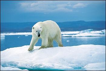 Cet ours est menacé par la fonte des glaces, mais aussi par les matières toxiques jetées dans la mer ainsi que de la chasse pour sa fourrure. Cet ours est...